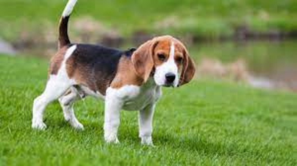 best dogs for hunting rabbits