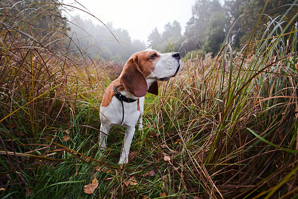 beagle bred for hunting