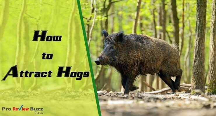How to Attract Hogs
