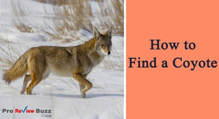 How to Find a Coyote