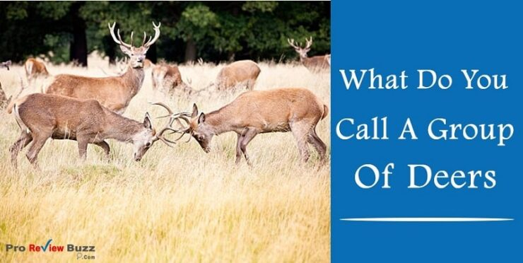 What Do You Call A Group Of Deers