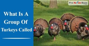 What Is A Group Of Turkeys Called