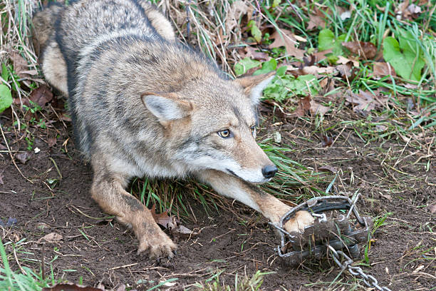 coyotes bait and tackle