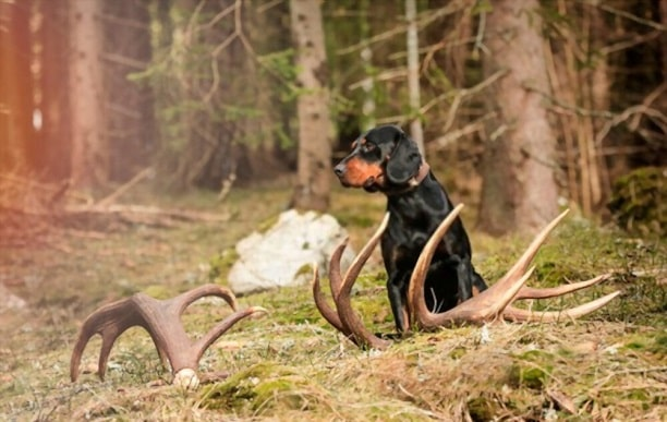 how to cut deer antlers for dogs
