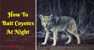 How To Bait Coyotes At Night