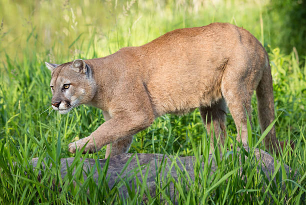 how to trap a cougar